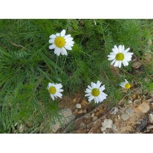 Tripleurospermum sp.