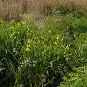 Photographie n°2292411 du taxon Iris pseudacorus L. [1753]