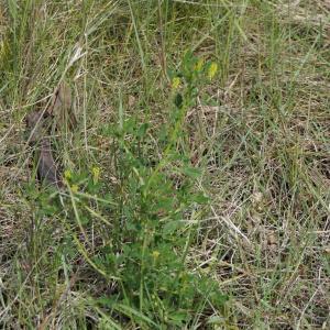 Photographie n°2292425 du taxon Melilotus officinalis (L.) Lam. [1779]