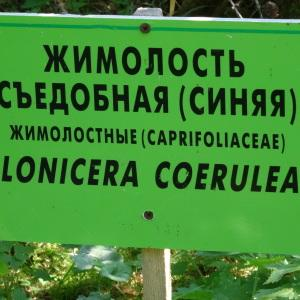 Photographie n°2292670 du taxon Lonicera caerulea L. [1753]