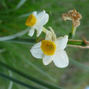 Photographie n°2292716 du taxon Narcissus tazetta L.