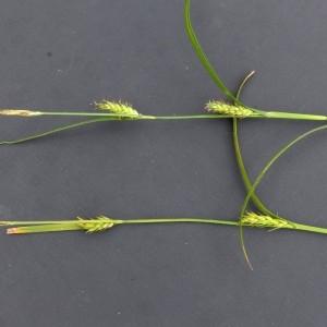 Photographie n°2292772 du taxon Carex hirta L. [1753]