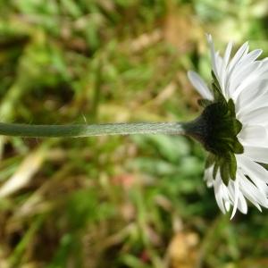 Photographie n°2292958 du taxon Bellis perennis L. [1753]