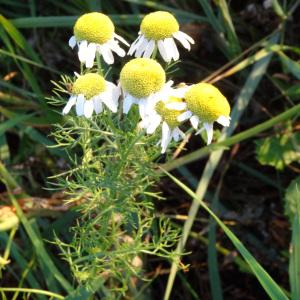 Photographie n°2293255 du taxon Tripleurospermum inodorum (L.) Sch.Bip. [1844]
