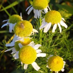 Photographie n°2293256 du taxon Tripleurospermum inodorum (L.) Sch.Bip. [1844]