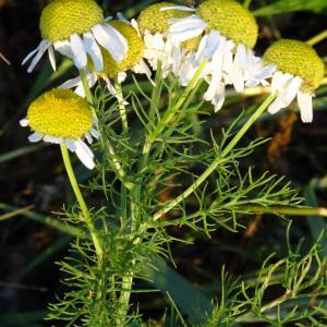 Photographie n°2293257 du taxon Tripleurospermum inodorum (L.) Sch.Bip. [1844]