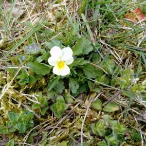 Photographie n°2293565 du taxon Viola arvensis Murray [1770]