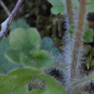 Photographie n°2293738 du taxon Saxifraga granulata L.