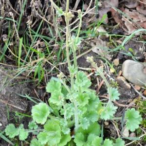 Photographie n°2293739 du taxon Saxifraga granulata L.