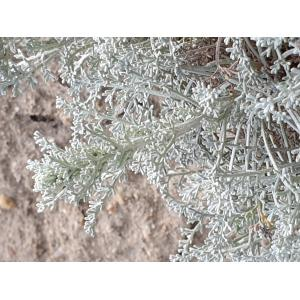 Artemisia caerulescens subsp. densiflora (Viv.) Gamisans ex Kerguélen & Lambinon (Armoise à fleurs denses)