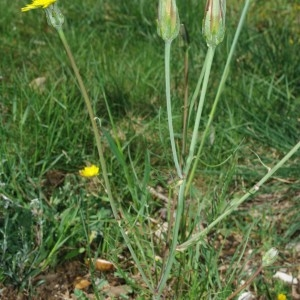 Photographie n°2294000 du taxon Podospermum laciniatum subsp. laciniatum