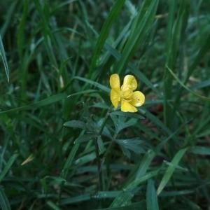 Photographie n°2294108 du taxon Ranunculus bulbosus L. [1753]