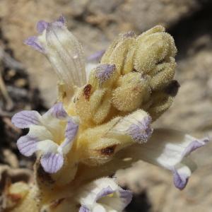 Photographie n°2294129 du taxon Phelipanche rosmarina (Beck) Banfi, Galasso & Soldano [2005]
