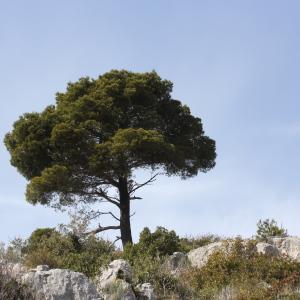 Photographie n°2294156 du taxon Pinus halepensis Mill. [1768]
