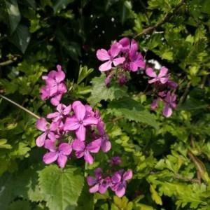 Photographie n°2294212 du taxon Lunaria annua L. [1753]