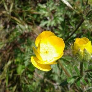 Photographie n°2294364 du taxon Ranunculus bulbosus L. [1753]