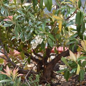 - Pieris japonica (Thunb.) D.Don ex G.Don