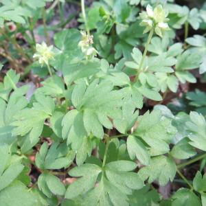 Photographie n°2294664 du taxon Adoxa moschatellina L. [1753]