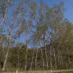 Photographie n°2295230 du taxon Populus nigra L.