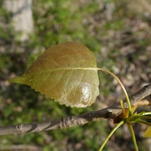 Photographie n°2295232 du taxon Populus nigra L.