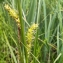 Florent Beck - Carex vesicaria L.