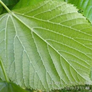 Photographie n°2295340 du taxon Tilia platyphyllos Scop. [1771]
