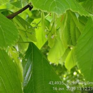 Photographie n°2295342 du taxon Tilia platyphyllos Scop. [1771]