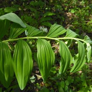 Photographie n°2295366 du taxon Polygonatum multiflorum (L.) All. [1785]