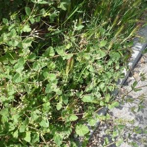 Photographie n°2295528 du taxon Erodium moschatum (L.) L'Hér. [1789]