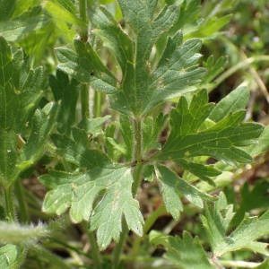 Photographie n°2295663 du taxon Ranunculus bulbosus L. [1753]