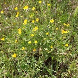 Photographie n°2295664 du taxon Ranunculus bulbosus L. [1753]