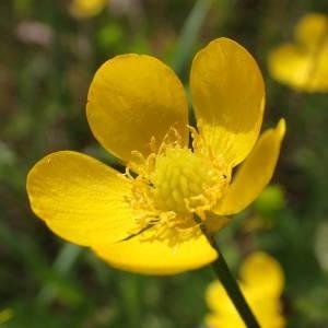 Photographie n°2295665 du taxon Ranunculus bulbosus L. [1753]