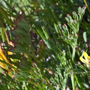 Photographie n°2296077 du taxon Eschscholzia californica Cham. [1820]
