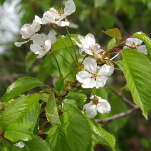 Photographie n°2296197 du taxon Prunus avium (L.) L. [1755]