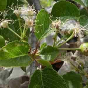 Photographie n°2296357 du taxon Prunus mahaleb L.