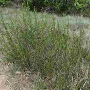 Photographie n°2296370 du taxon Jasminum fruticans L. [1753]