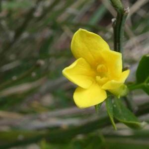 Photographie n°2296372 du taxon Jasminum fruticans L. [1753]