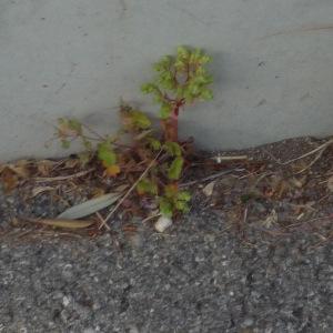 Photographie n°2296517 du taxon Euphorbia peplus L. [1753]