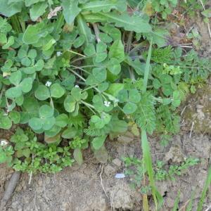Photographie n°2296633 du taxon Trifolium subterraneum L. [1753]