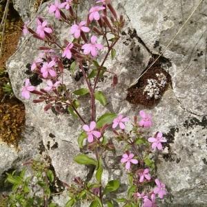 Photographie n°2296654 du taxon Saponaria ocymoides L.