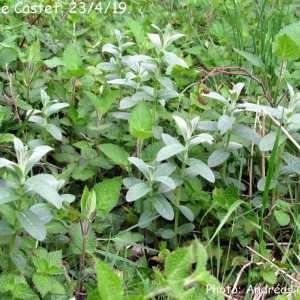 Photographie n°2296706 du taxon Mentha longifolia (L.) Huds. [1762]