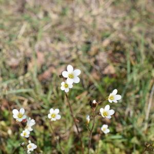 Photographie n°2296821 du taxon Saxifraga granulata L.