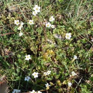 Photographie n°2296823 du taxon Saxifraga granulata L.