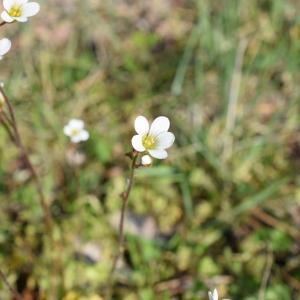 Photographie n°2296824 du taxon Saxifraga granulata L.