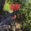 Hibiscus schizopetalus (Mast.) Hook. f. [nn] par AXELLE Tournier le 23/04/2019 - Saint-Pierre