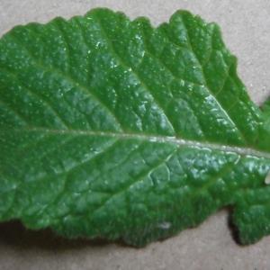 Photographie n°2296909 du taxon Sinapis arvensis L. [1753]
