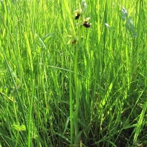 Photographie n°2297070 du taxon Ophrys aranifera Huds. [1778]