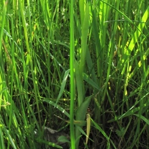 Photographie n°2297090 du taxon Ophrys aranifera Huds. [1778]