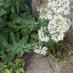 Photographie n°2297188 du taxon Centranthe lilas-d'Espagne