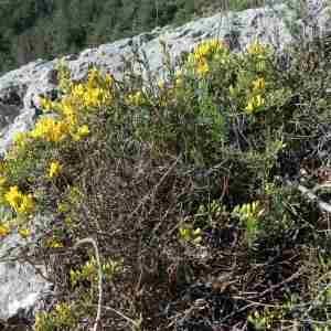 Photographie n°2297326 du taxon Genista sp.